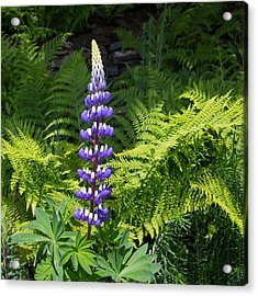 Lone Blue Lupine Acrylic Print by Allan Levin