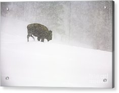 Lone Buffalo Bull In Winter Storm Acrylic Print