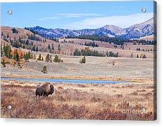Lone Bull Buffalo Acrylic Print by Cindy Singleton