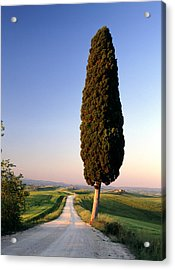 Lone Cypress Acrylic Print by Michael Hudson