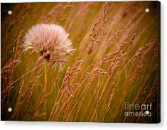Lone Dandelion Acrylic Print by Bob Mintie