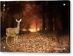 Acrylic Print featuring the photograph Lone Doe by Darren Fisher