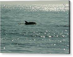 Lone Dolphin Acrylic Print by Allan Levin