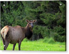 Lone Elk At Ecola State Park Acrylic Print