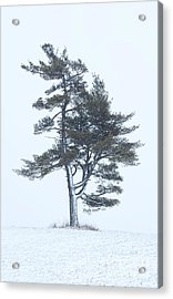Lone Pine In Snowstorm Acrylic Print