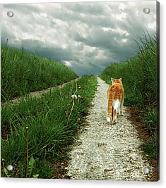 Lone Red And White Cat Walking Along Grassy Path Acrylic Print by © Axel Lauerer