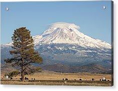 Lone Tree And Mount Shasta Acrylic Print by Loree Johnson