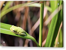Lone Tree Frog Acrylic Print