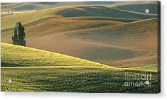 Lone Tree In The Palouse  Acrylic Print