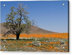 Lone Tree In The Poppies Acrylic Print by Sandra Bronstein