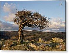 Lone Tree On Dartmoor Acrylic Print