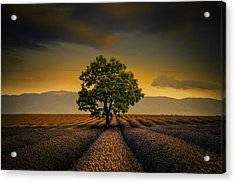 Lone Tree Valensole Acrylic Print by Alexander Hill