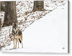Lone Winter Coyote Acrylic Print
