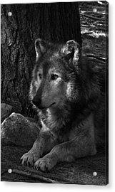 Lone Wolf Acrylic Print by Karol Livote