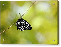 Lonely Butterfly  Acrylic Print