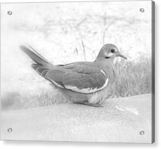 Lonely Dove Acrylic Print