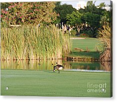 Lonely Goose On The Golf Course Acrylic Print by Jan Daniels