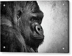 Lonely Gorilla Acrylic Print