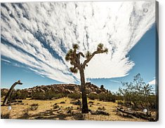 Lonely Joshua Tree Acrylic Print