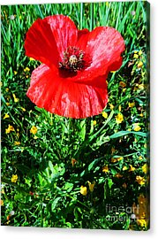 Lonely Poppy Acrylic Print by Don Pedro De Gracia
