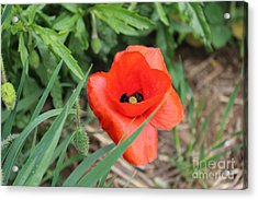 Lonesome Poppy Acrylic Print