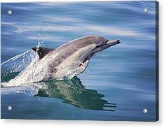 Long Beaked Common Dolphin Acrylic Print