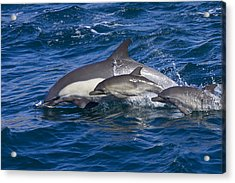 Long-beaked Common Dolphins, Delphinus Acrylic Print by Ralph Lee Hopkins