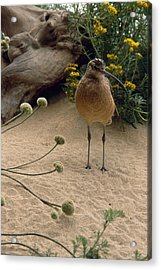 Long Billed Sandpiper Acrylic Print