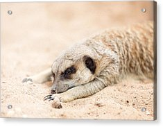 Long Day In Meerkat Village Acrylic Print