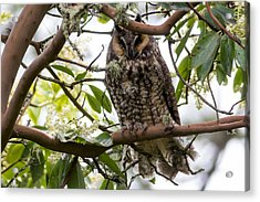 Long-eared Owl Acrylic Print by David Gn