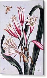 Long Leaved Amaryllis Acrylic Print