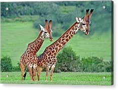 Long Necks Together Acrylic Print by Bruce Iorio