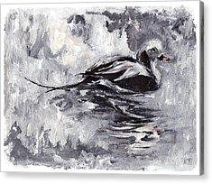 Long-tailed Duck Acrylic Print