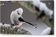 Acrylic Print featuring the photograph Long-tailed Look by Torbjorn Swenelius