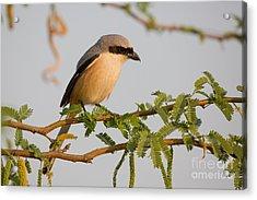 Long-tailed Shrike, India Acrylic Print