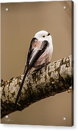 Long-tailed Tit On The Oak Branch Acrylic Print