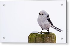 Acrylic Print featuring the photograph Long-tailed Tit On The Pole by Torbjorn Swenelius