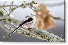 Acrylic Print featuring the photograph Long-tailed Tit by Torbjorn Swenelius