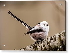 Acrylic Print featuring the photograph Long-tailed Tit Wag The Tail by Torbjorn Swenelius