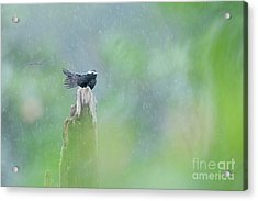 Long-tailed Tyrant In The Rain Costa Rica. Acrylic Print by Juan Carlos Vindas