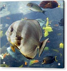 Longfin Batfish Acrylic Print by Betsy Knapp