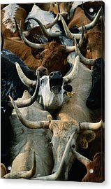 Longhorn Cattle Are Packed Acrylic Print by Joel Sartore