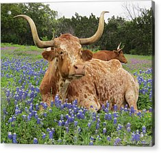 Da210 Longhorn In A Sea Of Bluebonnets By Daniel Adams Acrylic Print