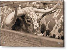 Longhorn Acrylic Print by Lynnette Johns