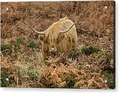 Longhorn On Dartmoor Acrylic Print