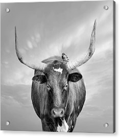 Acrylic Print featuring the photograph Longhorn Respite by Robin-Lee Vieira