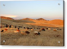 Longhorns Acrylic Print