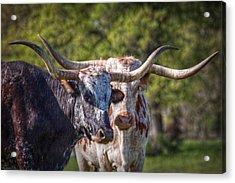 Longhorns In Love Acrylic Print by Linda Unger
