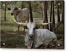 Longhorns On The Watch Acrylic Print