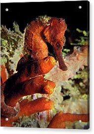 Longsnout Seahorse, St. Croix, U.s. Virgin Islands 2 Acrylic Print